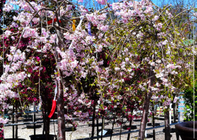 All Fruit Trees $20 OFF