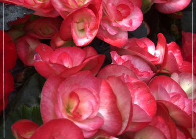 "Begonia ""Peggy"""