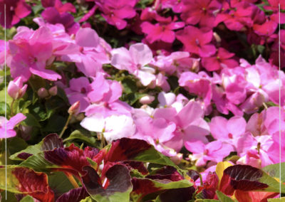 Pink Impatiens with Amaranth in front
