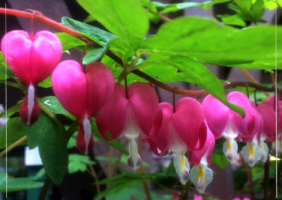 Buy2, Get 1 FREE Old Fashioned Bleeding Hearts