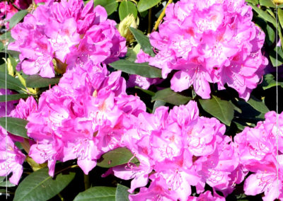 Rhododendron - Buy 2, Get 1 FREE