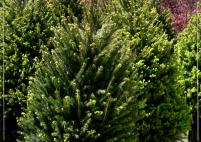 20% OFF Norway Spruce