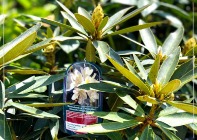 Rhododendron Chionoides