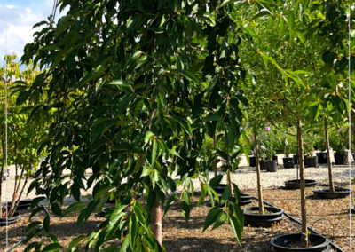 Weeping Cherry - $30 OFF