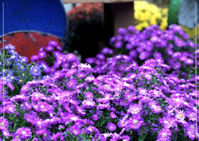 Fall-Color-Aster