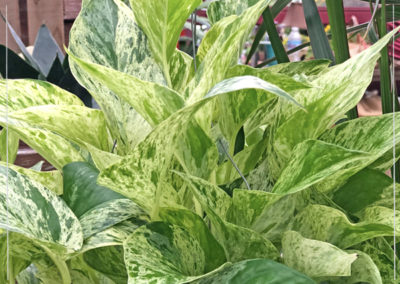 Philodendron-Variegated