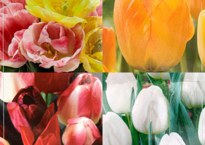 Tulip-Bulbs-4