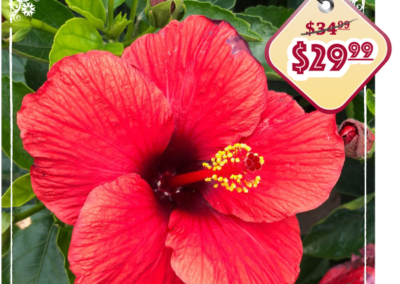 Hollywood Hibiscus