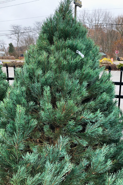 Scotch-Pine-blog